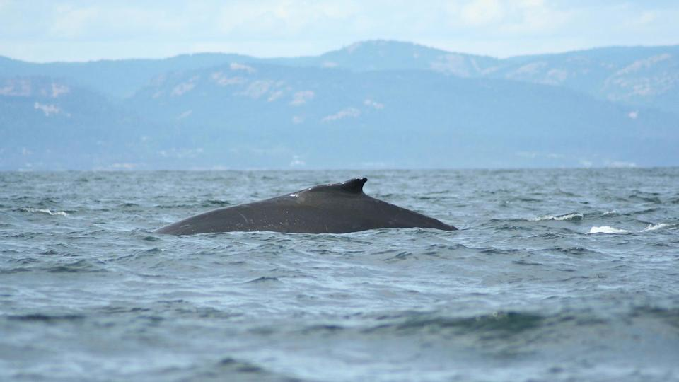 <p>With the beautiful landscape of the Vancouver Island coastline as our backdrop, seeing these creatures in their natural habitat was an experience I will never forget. Hearing the sound of water and air being pushed out of a blowhole as these large creatures surfaced, to then watch their entire massive body curl around from dorsal fin to tail left me in awe. </p>