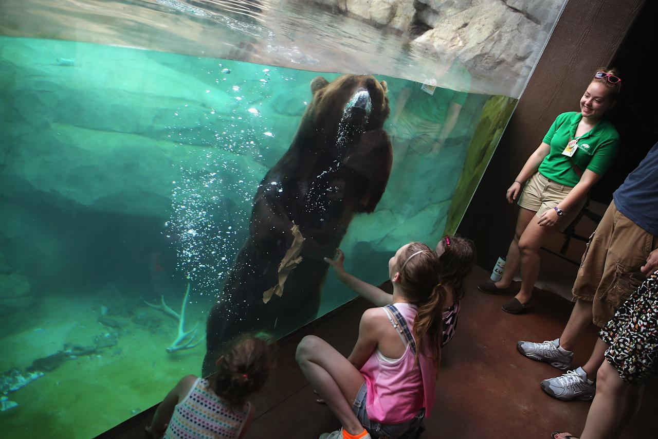 BROOKFIELD, IL - JULY 18: Visitors watch as a grizzly bear cools down in the pool in his enclosure at Brookfield Zoo on July 18, 2013 in Brookfield, Illinois. A heat wave continues to grip much of the country today with temperatures expected to top 90 degrees in forty-seven states. (Photo by Scott Olson/Getty Images)