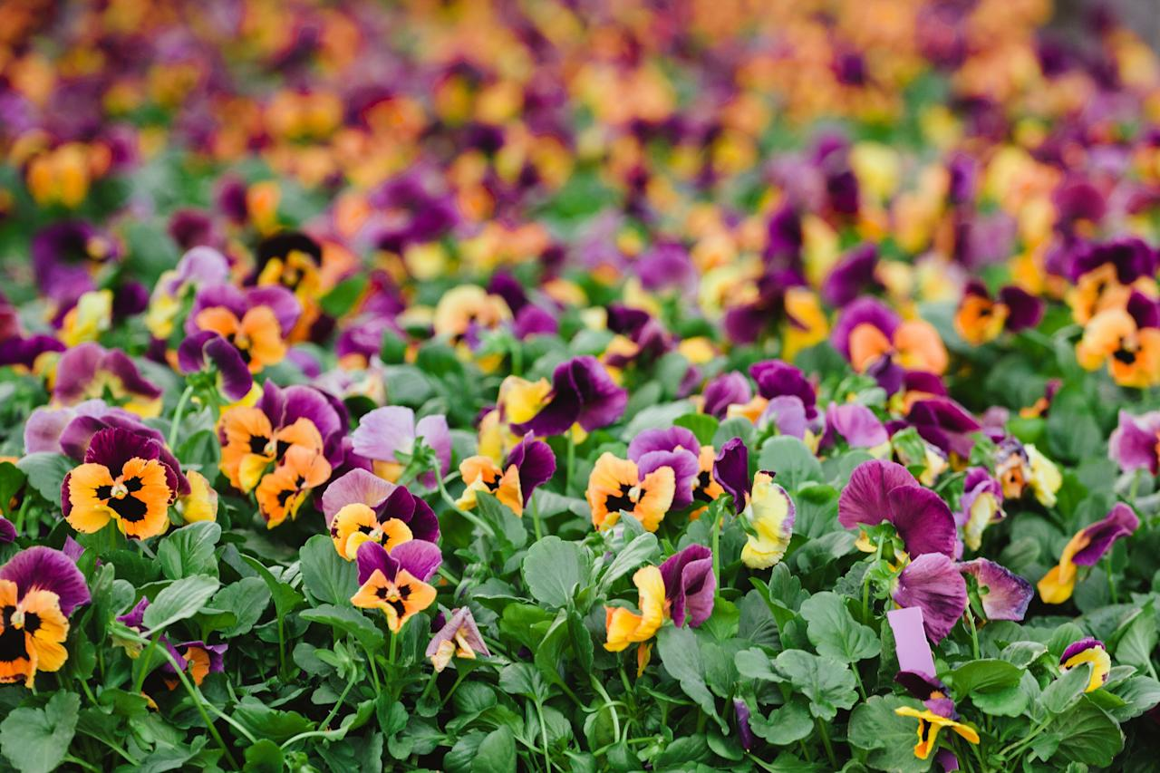 """<p>Unfortunately, your peonies and daisies won't flower forever. The good news: It's almost time for mums, pansies, and all of your other fall favorites. An <a href=""""https://www.goodhousekeeping.com/home/gardening/a20707312/how-to-plant-fall-garden/"""" target=""""_blank"""">autumn garden</a> can feature tons of color, including reds, pinks, oranges, yellows, purples, and blues. Check with your local nursery or plant supplier to determine the optimal time to plant each species — often late spring or early summer. An expert on your area can also recommends the best annuals and perennials will flower through September and October. If you're ordering plants online, check the United States Department of Agriculture's <a href=""""https://www.fs.fed.us/wildflowers/Native_Plant_Materials/Native_Gardening/hardinesszones.shtml"""" target=""""_blank"""">Plant Hardiness Zone Map</a>. It breaks down the different climates across the country into numbered sections, a handy guide when picking between different varieties. In general, count on most of these autumn-blooming beauties to grace your garden until the first hard frost. </p>"""