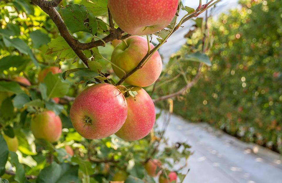 <p>Bi-colored Braeburn apples were discovered in 1952 in New Zealand, and today they are one of the top apples produced in Washington state. Their pale yellow flesh is sweet, crisp and juicy with hints of cinnamon and nutmeg.</p>