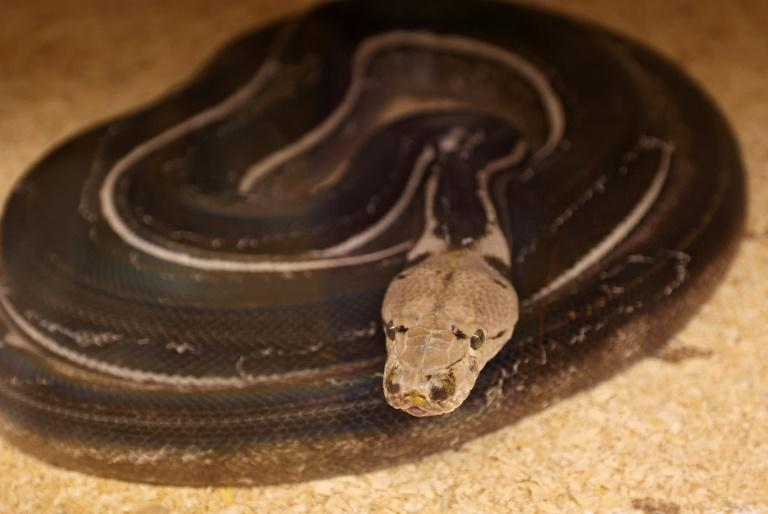Malaikah says most of his snakes are worth between $200 and $20,000 each (AFP/Fayez Nureldine)