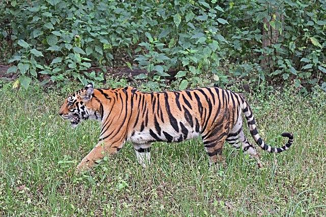 The latest tiger census brings much cheer to tiger conservationists. However, the work is far from over. Image credit: By Charles J Sharp - Own work, from Sharp Photography, sharpphotography.co.uk, CC BY-SA 4.0, https://commons.wikimedia.org/w/index.php?curid=65574915