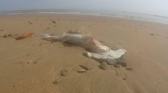 Dozens of sharks have washed up on the Queenland beach including this hammerhead. Source: Supplied