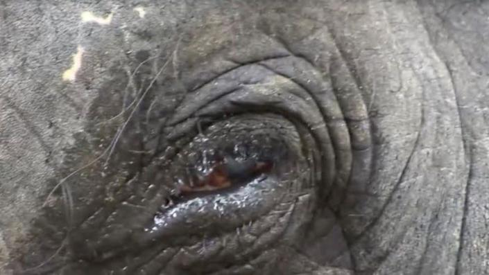 Sangita's favourite elephant, Lakshmi, continues to work, even after losing sight in one eye