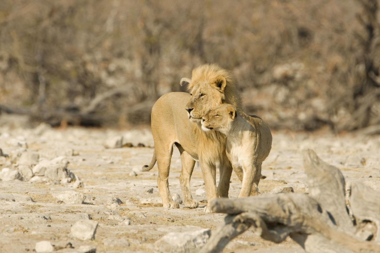 ** MANDATORY BYLINE ** PIC BY KARL ANDRE TERBLANCHE / ARDEA / CATERS NEWS - (Pictured lions nuzzling) - From a loving look to an affectionate nuzzle, these are the charming images of cute creatures cosying up for Valentines Day. And as the heart-warming pictures show the animal kingdom can be just as romantic as us humans when it comes to celebrating the big day. SEE CATERS COPY.
