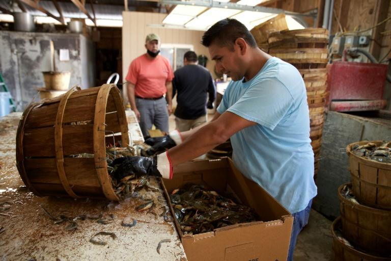 Blue crabs from Maryland's Chesapeake Bay are known across the United States