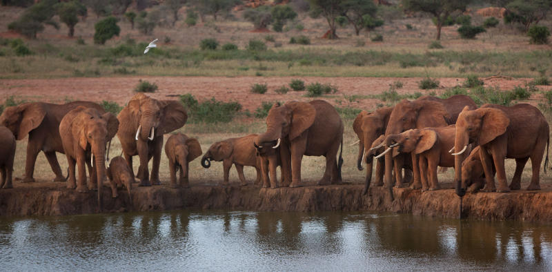 FILE - In this Sunday, March 25, 2012 file photo, elephants gather at dusk to drink at a watering hole in Tsavo East National Park, Kenya. Alarmed that rebel militias could be profiting from a sharp increase in the poaching of elephants and rhinos, the U.S. plans to step up efforts to build a global coalition to combat the illegal wildlife trade, Secretary of State Hillary Rodham Clinton said Thursday, Nov. 8, 2012 in Washington. (AP Photo/Ben Curtis, File)