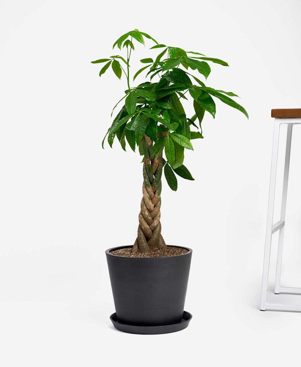 "<p>This <a href=""https://www.popsugar.com/buy/Potted-Money-Tree-Indoor-Plant-564889?p_name=Potted%20Money%20Tree%20Indoor%20Plant&retailer=bloomscape.com&pid=564889&price=150&evar1=casa%3Aus&evar9=47423087&evar98=https%3A%2F%2Fwww.popsugar.com%2Fphoto-gallery%2F47423087%2Fimage%2F47423331%2FPotted-Money-Tree-Indoor-Plant&list1=shopping%2Chouse%20plants%2Cplants%2Chome%20decorating%2Cdecor%20shopping%2Cbloomscape&prop13=api&pdata=1"" class=""link rapid-noclick-resp"" rel=""nofollow noopener"" target=""_blank"" data-ylk=""slk:Potted Money Tree Indoor Plant"">Potted Money Tree Indoor Plant </a> ($150) is another pet-friendly option.</p>"