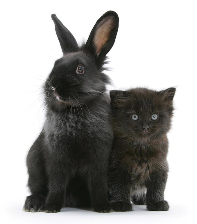 <p>Black kitten with black Lionhead-cross rabbit. (Photo: Warren photographic/Caters News) </p>