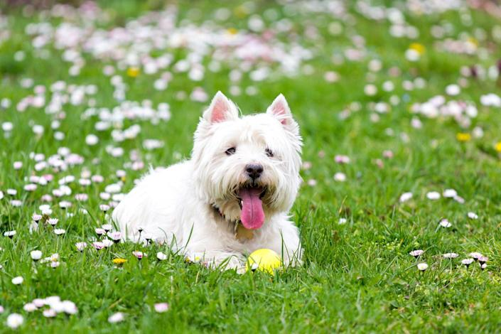 """<p>West Highland Terriers were originally bred for <a href=""""https://dogtime.com/dog-breeds/west-highland-white-terrier#/slide/1"""" rel=""""nofollow noopener"""" target=""""_blank"""" data-ylk=""""slk:hunting and ratting"""" class=""""link rapid-noclick-resp"""">hunting and ratting</a>, according to Dog Time, which means they're pretty independent thinkers but sometimes they can be a little <em>too</em> independent thinking. But their silly personality and love of being a part of the family will always win you over at the end of the day.</p>"""