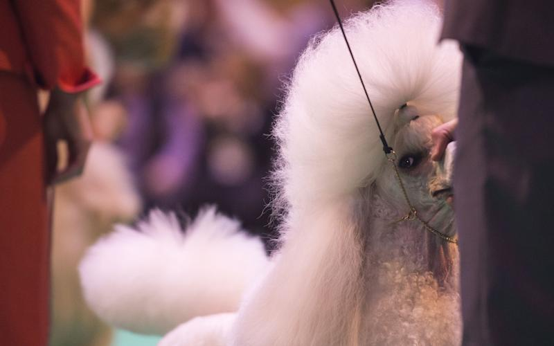Poodle getting into position before the judge arrives to inspect him Crufts Dog Show  - Credit:  Sandra Mailer/REX/Shutterstock