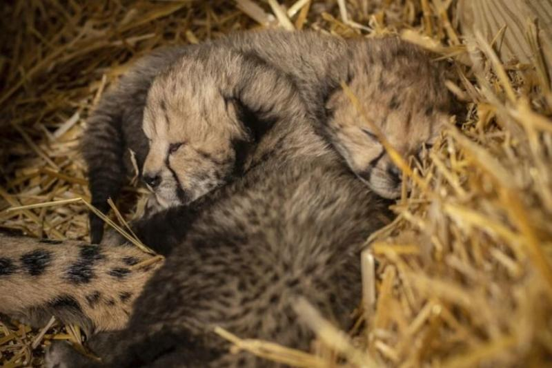 World's First Cheetah Cubs Born through Surrogacy to an 'Old' Mother in Columbus Zoo