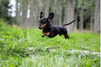 """<p>According to Mental Floss, <a href=""""http://mentalfloss.com/article/560280/right-way-pronounce-dachshund"""" rel=""""nofollow noopener"""" target=""""_blank"""" data-ylk=""""slk:Dachshund is german for &quot;badger dog&quot;"""" class=""""link rapid-noclick-resp"""">Dachshund is german for """"badger dog""""</a>, because this lanky pooch was bred to chase badgers out of their holes during hunts. As such, they needed to be small enough to wiggle into burrows. The AKC says that if you get the <a href=""""https://www.akc.org/dog-breeds/dachshund/"""" rel=""""nofollow noopener"""" target=""""_blank"""" data-ylk=""""slk:miniature version of this breed"""" class=""""link rapid-noclick-resp"""">miniature version of this breed</a>, it weighs around 11 pounds and stands at half a foot tall.</p>"""