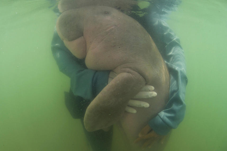 The dugong have a cuddle under water.