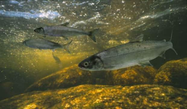 Estimates say there are only several hundred Atlantic whitefish remaining in the wild, all of which are in Nova Scotia. (Bob Semple/www.hww.ca - image credit)