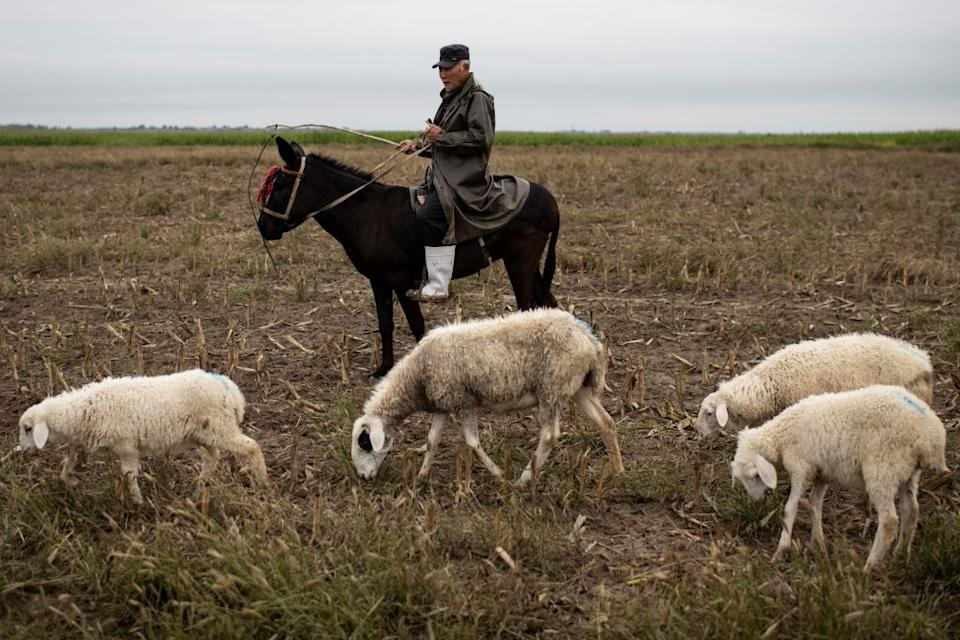 A Mongolian herder looking after sheep while sitting on a donkey.