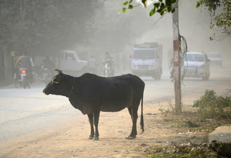 Hindus consider cows sacred and slaughtering the animals, or possessing or consuming beef, is banned in most Indian states