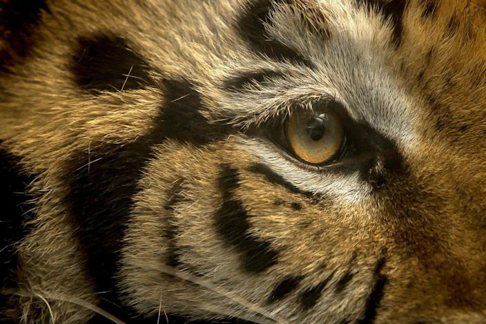 A bengal tiger is seen at the zoo in Culiacan, Sinaloa state, Mexico, on May 26, 2020.