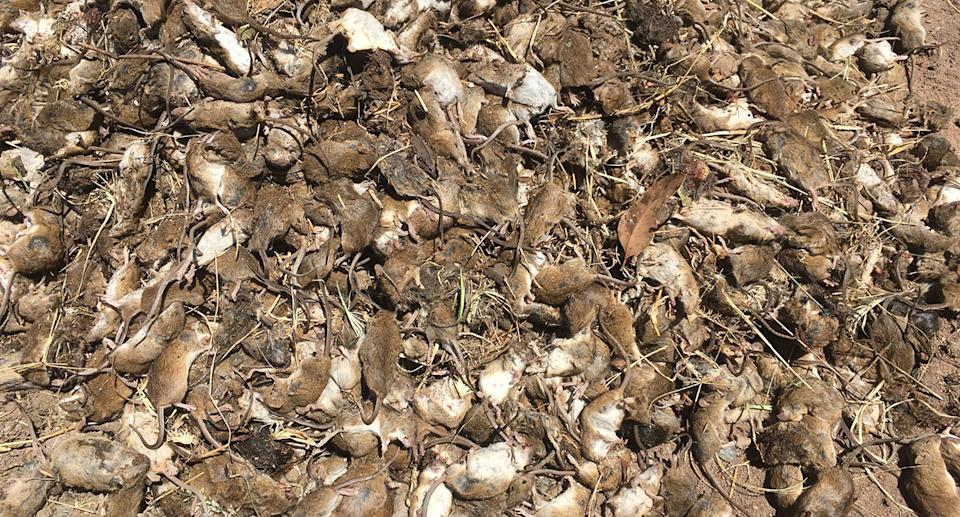 A supplied undated image obtained Tuesday, May 1, 2021 shows dead mice at a property in Gilgandra, NSW. Source: AAP