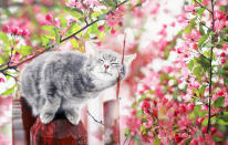 cute tabby cat walking on the Sunny garden among pink flowering branches of Apple in may on a clear day