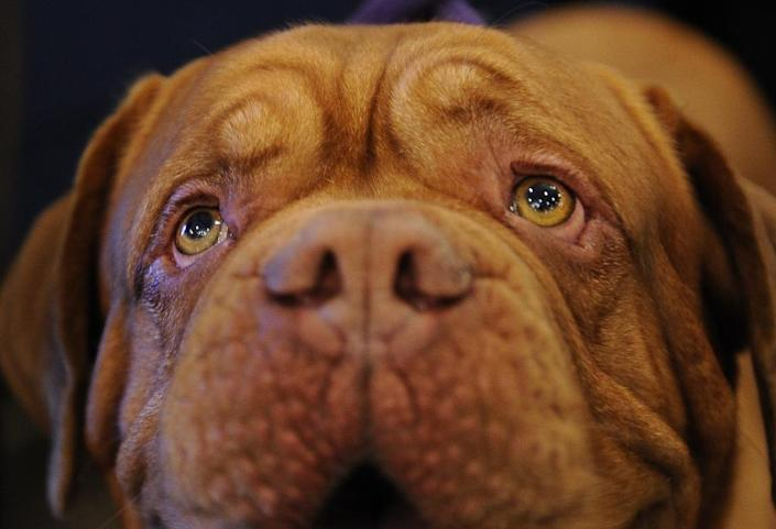 Darco, a Dogue de Bordeaux, also known as French Mastiff. A police source told AFP that the dog was surrounded by stones and her lead was attached to a sack of gravel to prevent her breaking free (AFP Photo/Stan Honda)