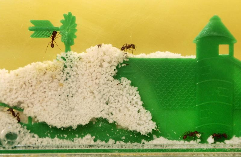 File-This Feb. 28,2006 file photo shows Ants exploring the confines of an Uncle Milton Ant Farm toy at the family-owned Uncle Milton Industries office in Westlake Village, Calif.  Ant farms, the narrow glass or plastic containers filled with soil that trick the insects into believing they're underground, have been popular for generations of children, and marketers say they remain in-demand even in the age of computers and video games. (AP Photo/Damian Dovarganes, File)