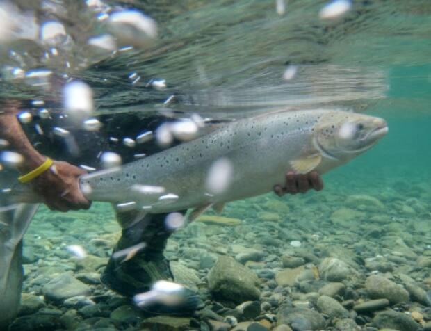 An Atlantic salmon is released on the Bonaventure River in Quebec. The river is renowned for its excellent fishing. (Kelsey Taylor/Atlantic Salmon Federation - image credit)