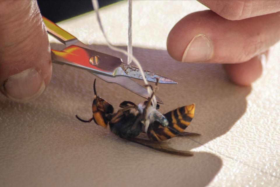 In photo provided by the Washington State Dept. of Agriculture, a worker attaches a tracking device to an Asian Giant Hornet, Thursday, Oct. 22, 2020 near Blaine, Wash. Scientists have discovered the first nest of so-called murder hornets in the United States and plan to wipe it out Saturday to protect native honeybees, officials in Washington state said Friday, Oct. 23, 2020. (Karla Salp/Washington Dept. of Agriculture via AP)