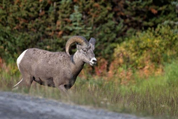 The Alberta government is offering a special harvest hunting licence as part of its latest COVID-19 vaccine lottery. The winner of that licence could be able to hunt species like bighorn sheep, elk or turkey. (Alberta Parks - image credit)