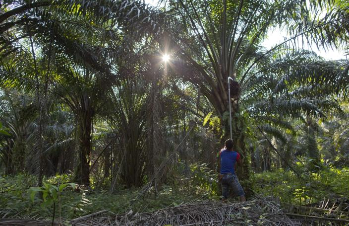 A Malaysian worker harvests palm fruits from a plantation in peninsular Malaysia, on Wednesday, March 6, 2019. Though labor issues have largely been ignored, the punishing effects of palm oil on the environment have been decried for years. (AP Photo/Gemunu Amarasinghe)