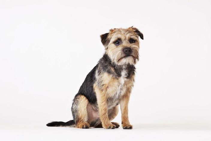 """<p>These floppy-eared little fellas aren't just cute, they're also super easy to care for. A low-maintenance dog that doesn't require <a href=""""https://www.womansday.com/life/pet-care/a2428/10-secrets-of-pet-groomers-117490/"""" rel=""""nofollow noopener"""" target=""""_blank"""" data-ylk=""""slk:a lot of bathing"""" class=""""link rapid-noclick-resp"""">a lot of bathing</a> or training, border terriers were bred to be less aggressive than their predecessors. While they don't shed a ton, Hill's Pet makes it clear that their<a href=""""https://www.hillspet.com/dog-care/dog-breeds/border-terrier"""" rel=""""nofollow noopener"""" target=""""_blank"""" data-ylk=""""slk:coats will need to be hand-stripped"""" class=""""link rapid-noclick-resp""""> coats will need to be hand-stripped</a> twice a year at the groomer's. </p>"""