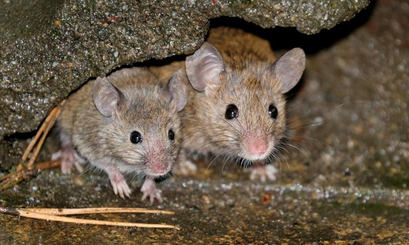 Mice have infested the Farallones, affecting the islands' unique ecosystem.