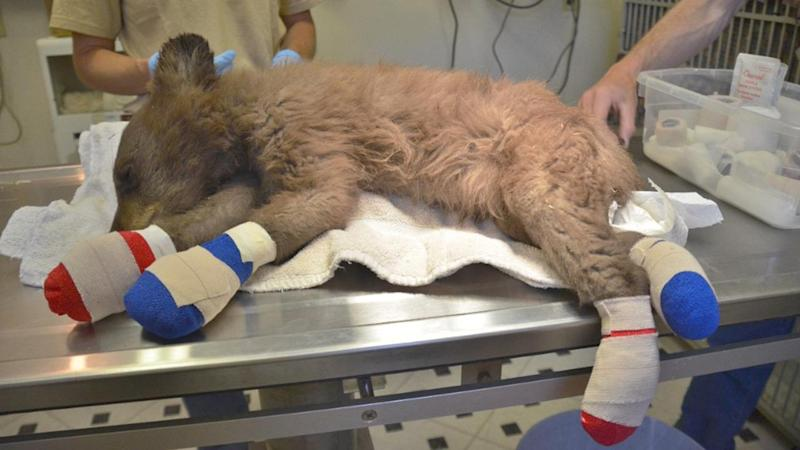 Bear Cub With Burned Feet Rescued From Colorado Fire