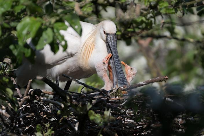 Eurasian spoonbills are one of many species that travel along the east Atlantic flyway (Getty Images/iStockphoto)