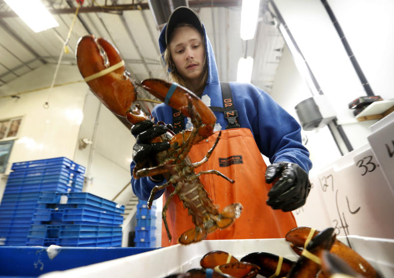In this Tuesday, Sept. 11, 2018 photo, Kyle Bruns packs a live lobster for shipment to Hong Kong at The Lobster Company in Arundel, Maine. China is a major buyer of lobsters, and the country imposed a heavy tariff on exports from the U.S. in early July amid trade hostilities between the two superpowers. Exporters in the U.S. say their business in China has dried up since then. (AP Photo/Robert F. Bukaty)