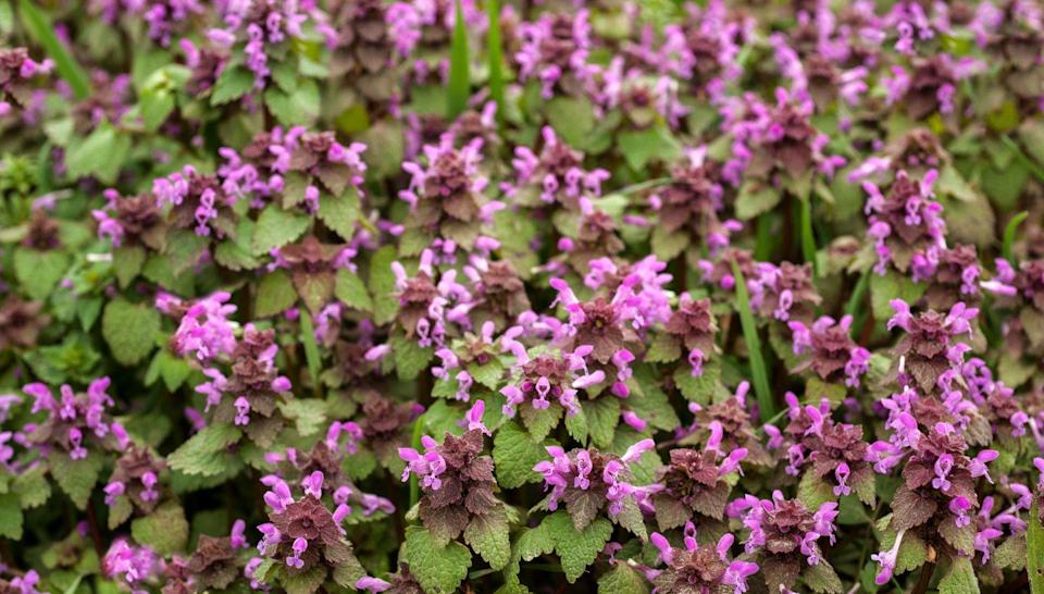 "<p>Dead nettle, also known as Lamium, is a low-growing perennial with silver-splashed leaves and bursts of purple, pink, or white flowers that pop up in spring and early summer. It prefers shade, but will tolerate some sun.</p><p><a class=""link rapid-noclick-resp"" href=""https://www.amazon.com/Lamium-maculatum-Deadnettle-Perennial-flowers/dp/B07HFP7HTZ/?tag=syn-yahoo-20&ascsubtag=%5Bartid%7C10055.g.32440508%5Bsrc%7Cyahoo-us"" rel=""nofollow noopener"" target=""_blank"" data-ylk=""slk:SHOP NOW"">SHOP NOW</a></p>"