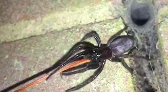 Segestria florentina - or tube web or cellar spiders - are known to have a very painful bite. Photo: Supplied