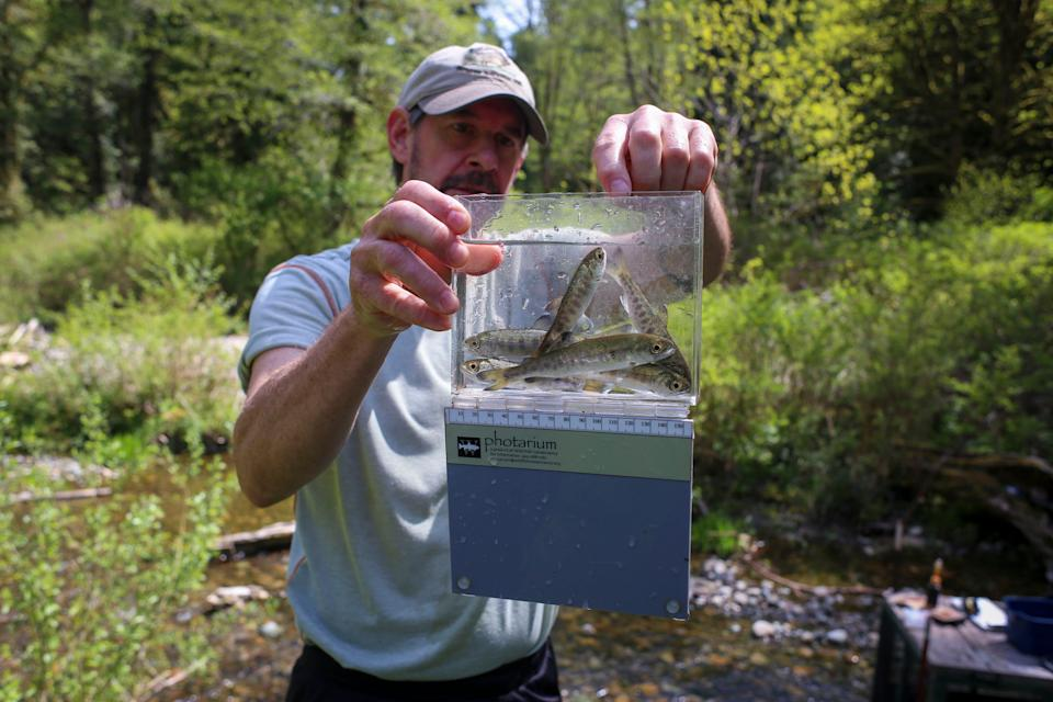 Jon Oleyar, Suquamish Tribe fisheries biologist, gathers data on coho salmon smolt at the tributary where Wildcat and Lost Creeks turn into Chico Creek. It's one of the best tributaries and habitat in the county, he said.