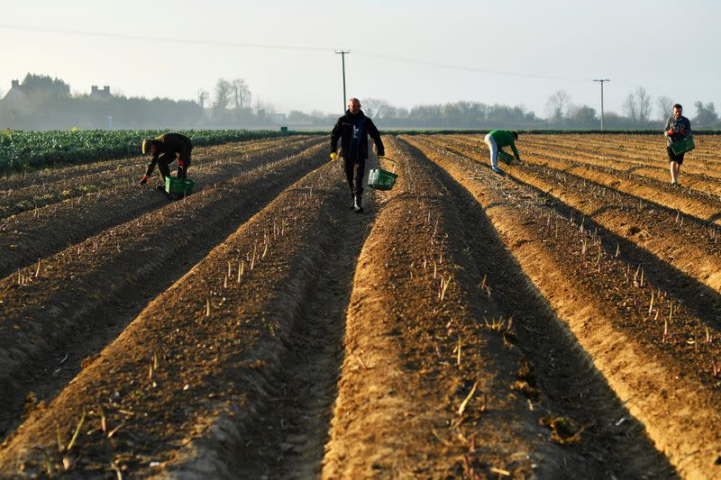 Local residents pick asparagus as they work at Dyas Farms in Sevenscore
