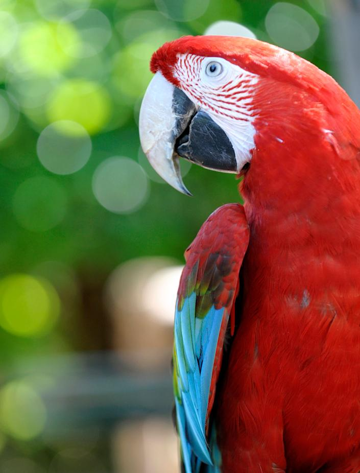 A greenwing macaw is pictured at the zoo in Amneville, France, on July 8, 2013.