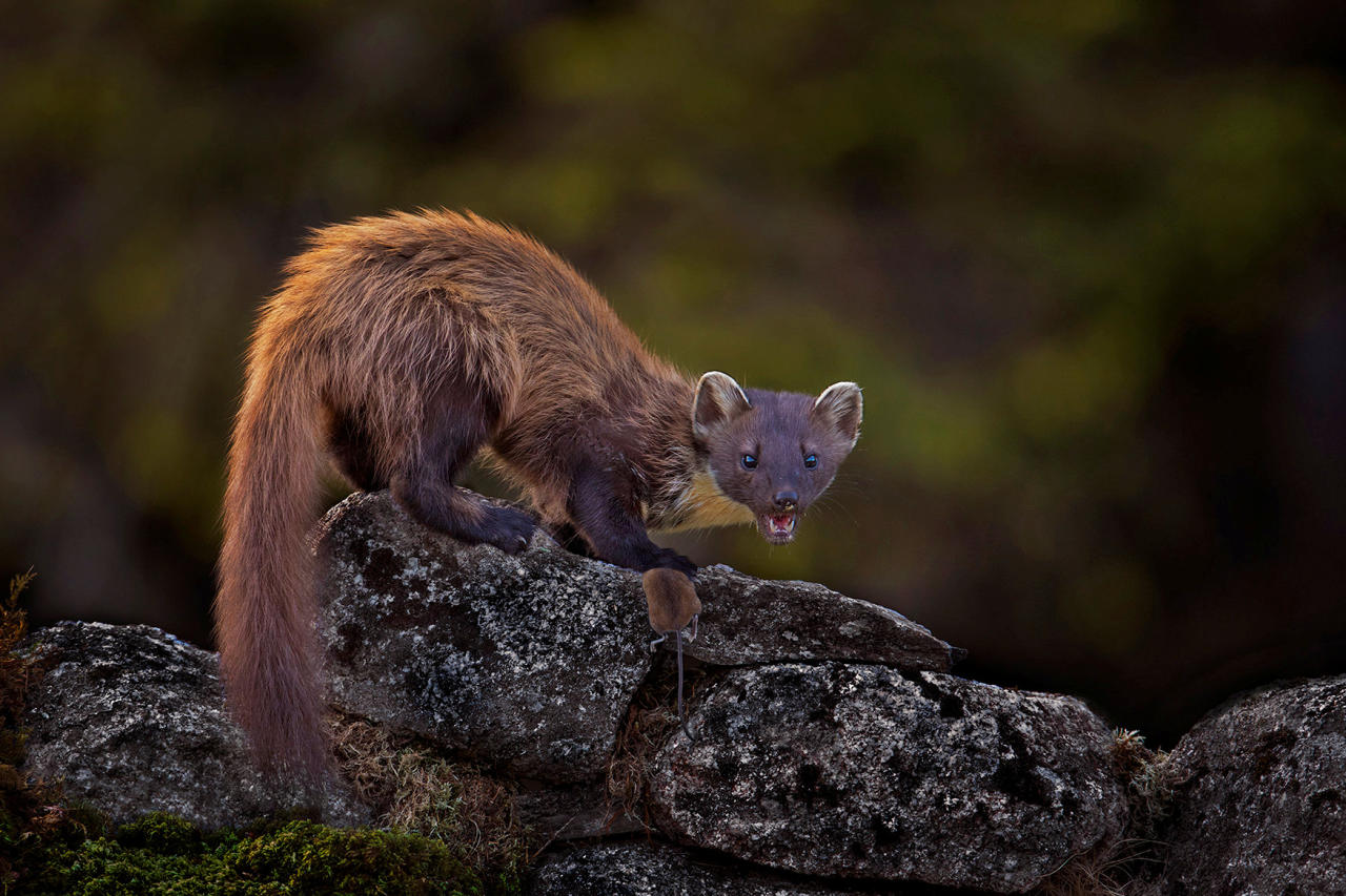 """<p>An image of a hungry pine marten baring its teeth, about to eat a mouse, in Cairngorms National Park earned Scot Lenny Smith the top spot in the Wildlife category. The professional photographer from Morayshire said: """"Although my main genre of photography is wedding photography I am passionate about wildlife and nature. 'I had been trying to get an image of a pine marten for years but never expected to get one as good as this.' (SWNS) </p>"""