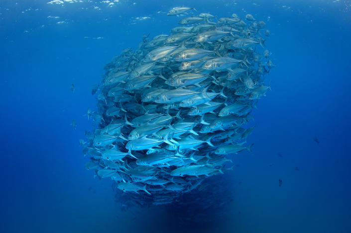 PIC BY OCTAVIO ABURTO / CATERS NEWS - (PICTURED The fish gather together to make a huge ball of fish) - Smile - its the school photo! This is the hilarious moment a marine photographer managed to capture hundreds of wide-eyed fish apparently posing for a picture. Californian photographer and conservationist Octavio Aburto had spent years photographing the school in Cabo Pulmo National Park, Mexico - and had been trying to capture this exact shot for three years. The Bigeye travellies fish gather in their thousands in the oceans during courtship.