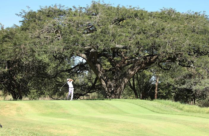 """in this photo taken Monday, June 3, 2013, a golfer tees off at the century-old thorn tree with an umbrella-shaped canopy that offers shade to players on the 13th hole of Zimbabwe's oldest golf course, the Royal Harare Golf Club. The indigenous tree is to stay, but """"foreign"""" trees that were planted by early white settlers to remind them of their distant origins, are now being rooted out. (AP Photo/Tsvangirayi Mukwazhi)"""