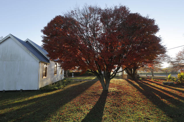 <p>Red autumn leaves dominate the color of a tree in the church yard of the small village of Nottingham Road, South Africa, May 24, 2017. The leaves are falling from trees as the colder weather of winter approaches on the southern hemisphere. (Photo: Kim Ludbrook/EPA) </p>