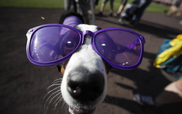 """A dog wears purple sunglasses during the """"bark in the park"""" promotion before the start of a baseball game between the Arizona Diamondbacks and Colorado Rockies Tuesday, Aug. 13, 2019, in Denver. (AP Photo/David Zalubowski)"""