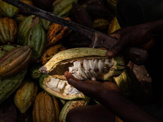 A worker cuts a cocoa pod to collect the beans
