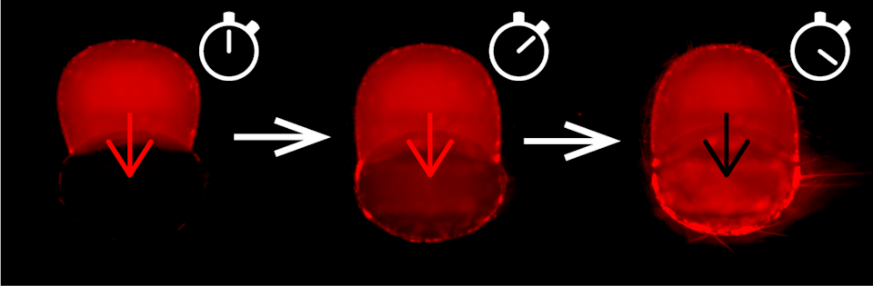"""<span class=""""caption"""">Droplet interface bilayers. The chemotherapy drug doxorubicin starts in the top droplet and gradually crosses the asymmetric artificial cell membrane into the second droplet.</span> <span class=""""attribution""""><span class=""""source"""">Reproduced by permission of The Royal Society of Chemistry</span></span>"""