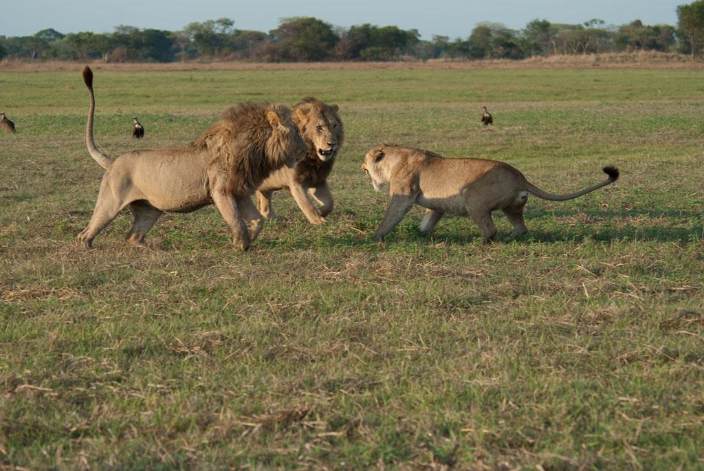 Busanga Swamps, Zambia: Two male lions ganging up on female. The lionesses fight to protect the life of their cubs, as well as to prevent a total takeover by the invading male brothers.