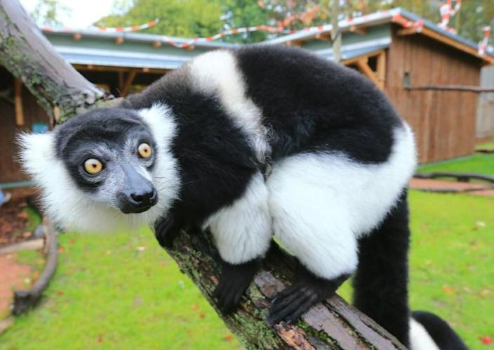 Ruffed lemurs could lose more than 90 percent of their habitat within 50 years as a result of global warming and habitat loss (AFP Photo/JENS WOLF)