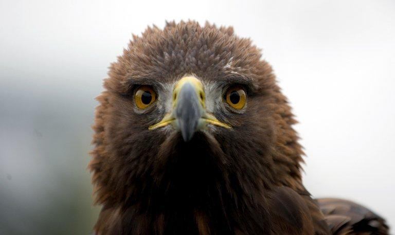 A video of a golden eagle, similar to the one seen here, swooping down in Montreal and briefly snatching a toddler off the ground sparked online buzz, but turned out on Wednesday to be a hoax that some said harms wildlife